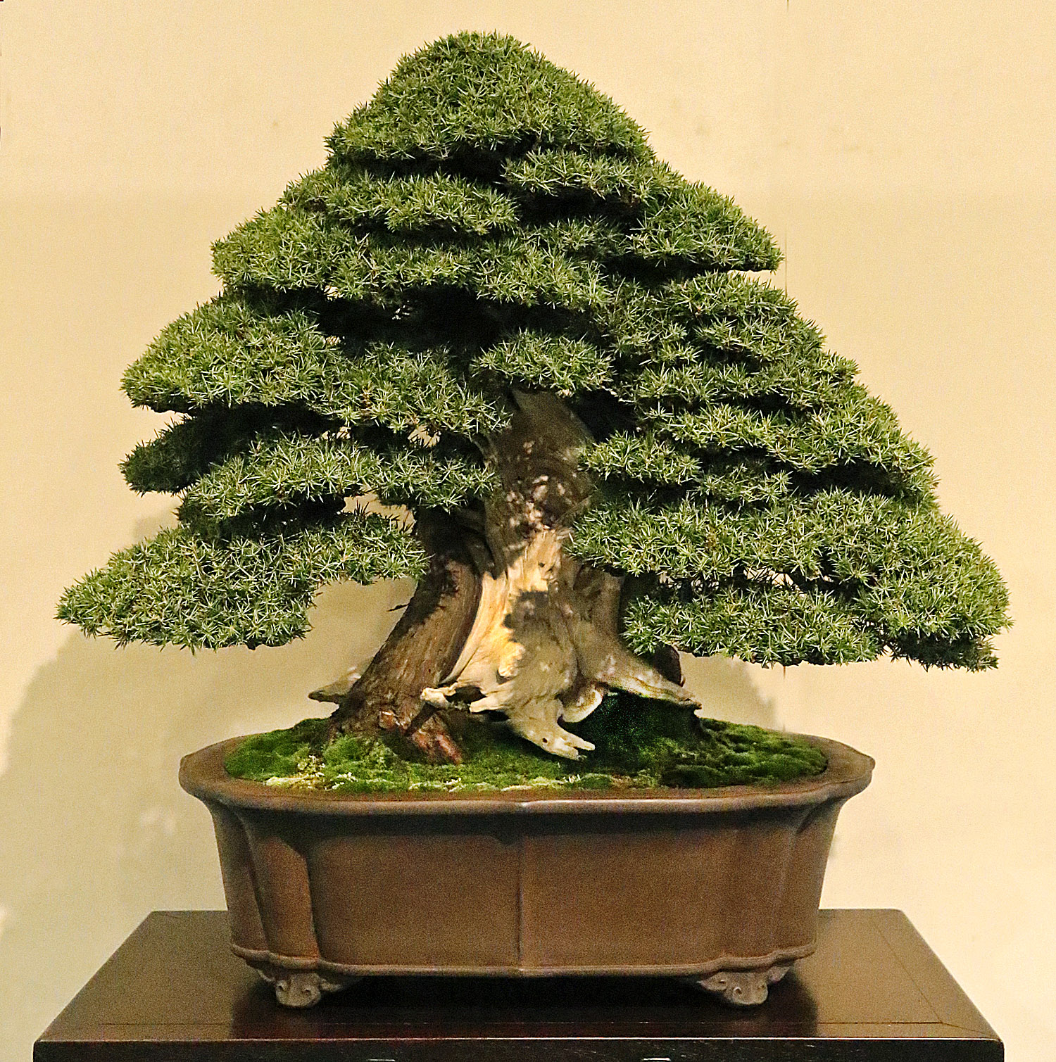 Negozio bonsai semi di ginepro ad aghi juniperus rigida for Bonsai costo