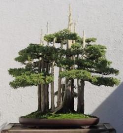 Semi di Cipresso di Montezuma (Taxodium huegelii)