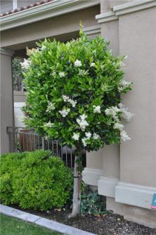 Semi di Ligustro giapponese (Ligustrum japonicum)