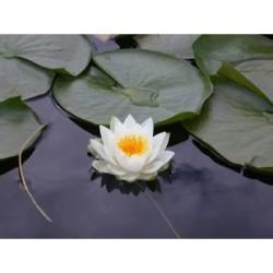 Semi di Fiore di Loto Bianco (Nynphaea ampla)