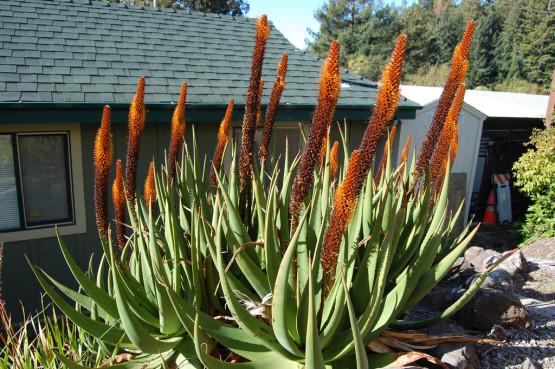 Semi di Aloe Coda di Gatto (Aloe Castanea)