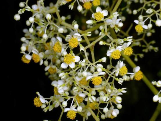 Semi di Begonia parviflora