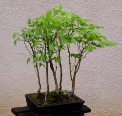 Semi di Acero Negundo (Acer negundus)