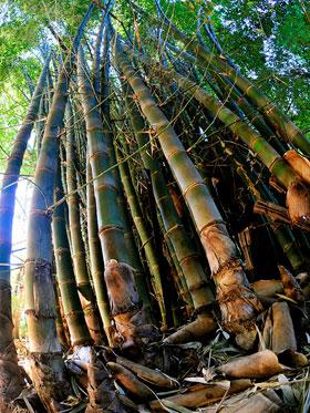 negozio bonsai semi di bamboo gigante spinoso bambusa