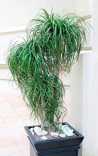 Semi di Beaucarnea Mangiafumo (Beaucarnea guatemalensis)
