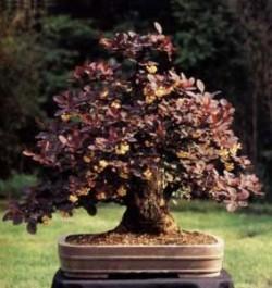 Berberis-thunbergii-atropurpurea-semi
