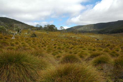 Button grass (1)