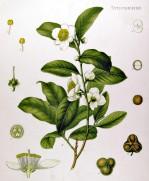 Camellia sinensis 2