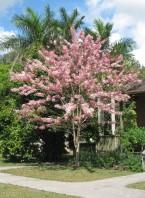 Semi di Albero Rosato della Pioggia (Cassia bakeriana)