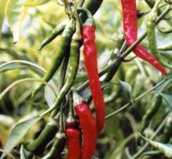 Semi di Capsicum Cayenne (Peperone di Cayenne)