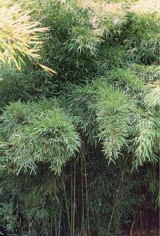Semi di Bamboo Cioccolato (Fargesia fungosa bambù)