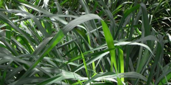 Semi di Citronella di Java (Cymbopogon Winterianus)