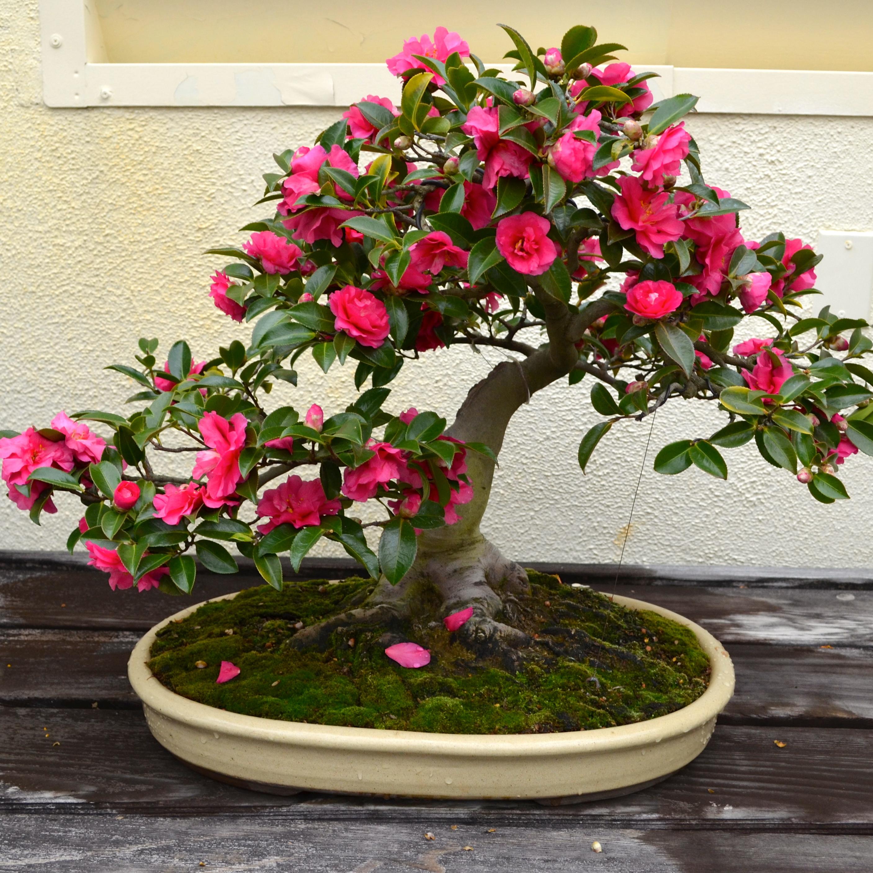 Negozio bonsai semi di camelia sasanqua - Camelia giapponese ...