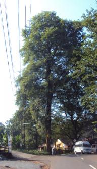Semi di Palissandro Nero (Dalbergia latifolia)