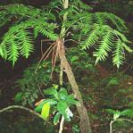 Felce-Arborea-delle-Filippine-Cyathea-fenicis-1