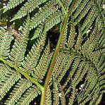 Felce-Arborea-delle-Filippine-Cyathea-fenicis-2