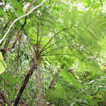 Felce-di-Taiwan-Cyathea-fenicis-3