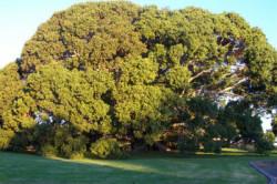 Semi di Ficus Obliqua