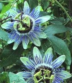 Semi di Passiflora Cerulea Blu Cielo