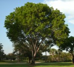 Semi di Acacia Australiana (Acacia auriculiformis)