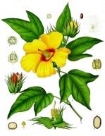 Gossypium_barbadense_-_Köhler–s_Medizinal-Pflanzen-068
