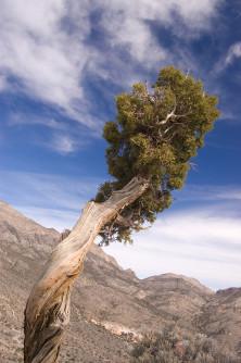 Semi di Ginepro dello Utah (Juniperus osteosperma)