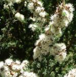 Semi di Albero del tè (Kunzea Ericoides)