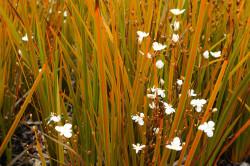 Semi di Iris Neozelandese (Libertia peregrinans)