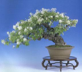Semi di Magnolia stellata
