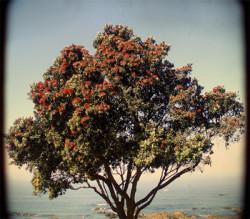 Semi di Albero di Natale della Nuova Zelanda (Metrosideros Exc.)