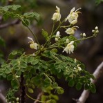 semi per coltivare la Moringa oleifera