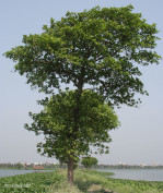 Semi di Albero di Krishna (Neolamarckia cadamba)