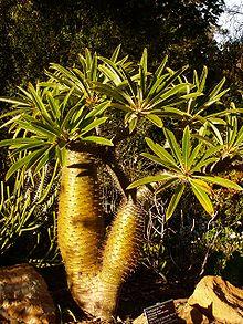 Semi di Palma del Madagascar (Pachypodium lamerei)