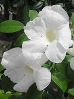 "Semi di Pandorea Bianca (Pandorea Jasminoides ""Alba"")"