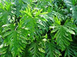 Semi di Filodendro (Philodendron Selloum)