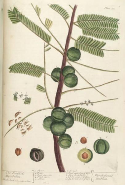 Semi di Uva spina nepalese (Phyllanthus Emblica)