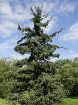 Semi di Abete Rosso (Picea Asperata)