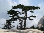 Semi di Pino Cinese Rosso (Pinus tabuliformis)