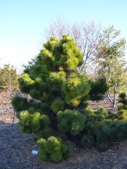 Thunderhead Japanese Black Pine - Pinus thunbergii