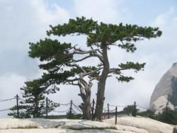 Pinus tabuliformis