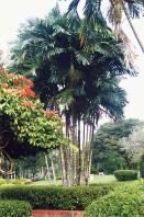 Semi di Palma di MacArthur (Ptychosperma macarthurii)
