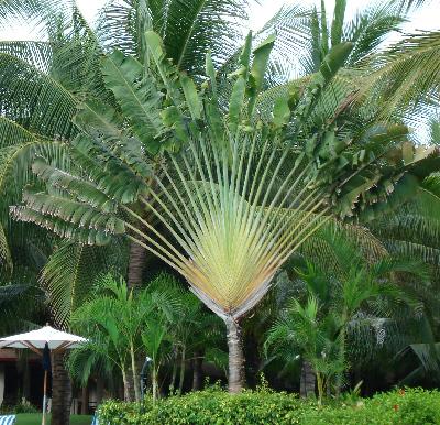 Negozio bonsai semi di palma del viaggiatore ravenala - Tipi di palma da giardino ...