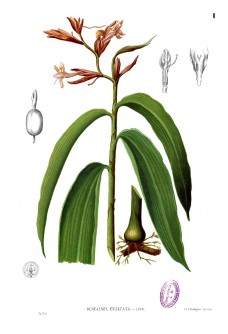 Renealmia alpinia