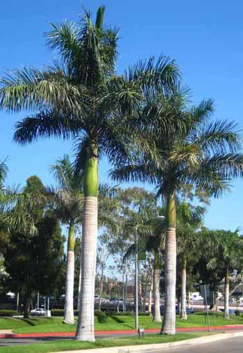 Semi di Palma Reale Cubana (Roystonea regia)