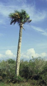 Sabal_palmetto