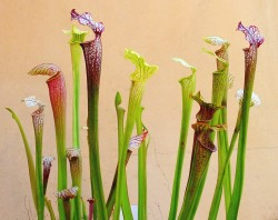 Sarracenia Alata