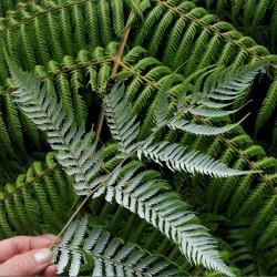 Silver-fern (1)