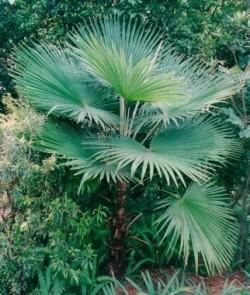Trachycarpus-palma