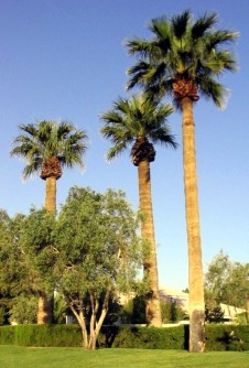 Washingtonia robusta Mat 600 1
