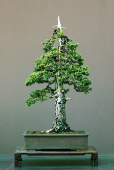 Semi di Abete Pindrow (Abies pindrow)